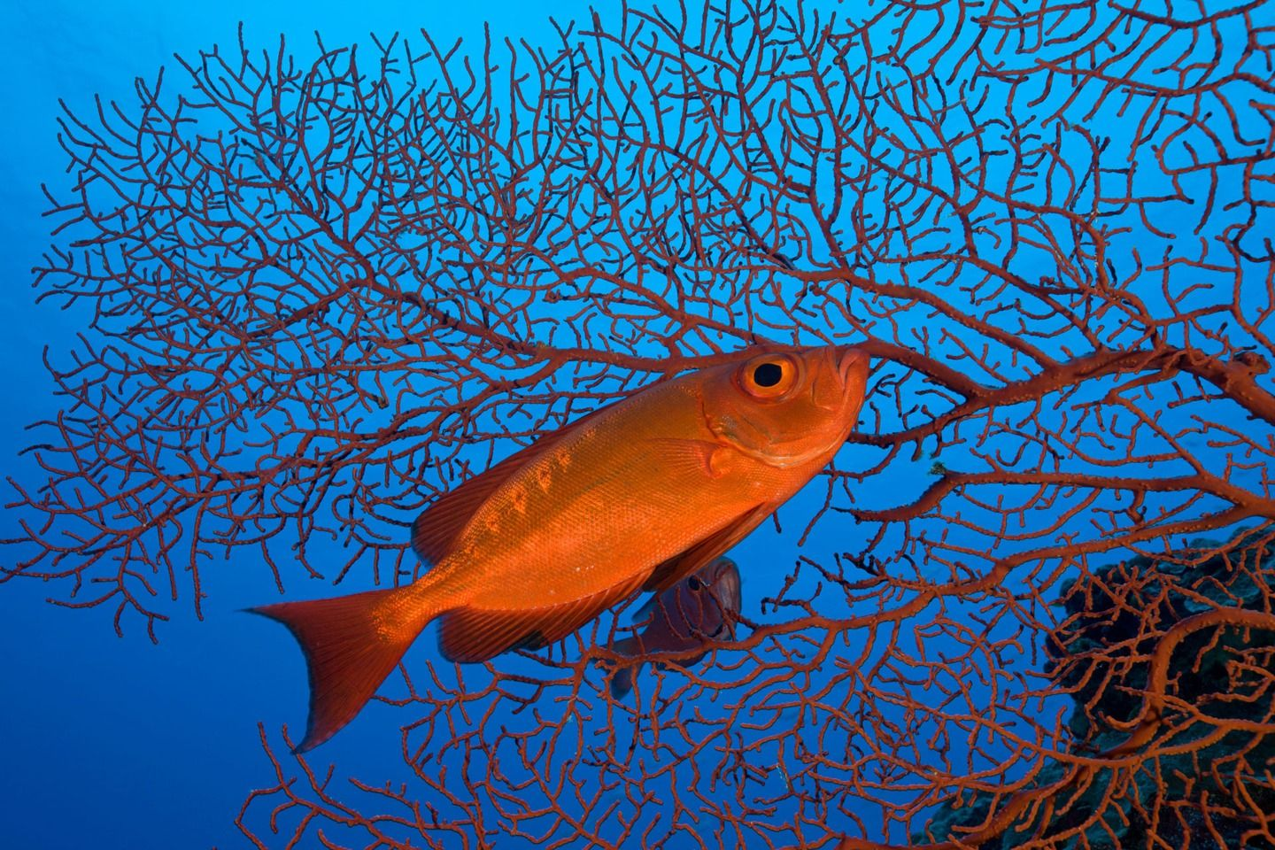 Dazzling photos from a Pacific marine sanctuary larger than California   A red crescent-tail bigeye in Palau. Image: Reinhard Dirscherl/Corbis Images