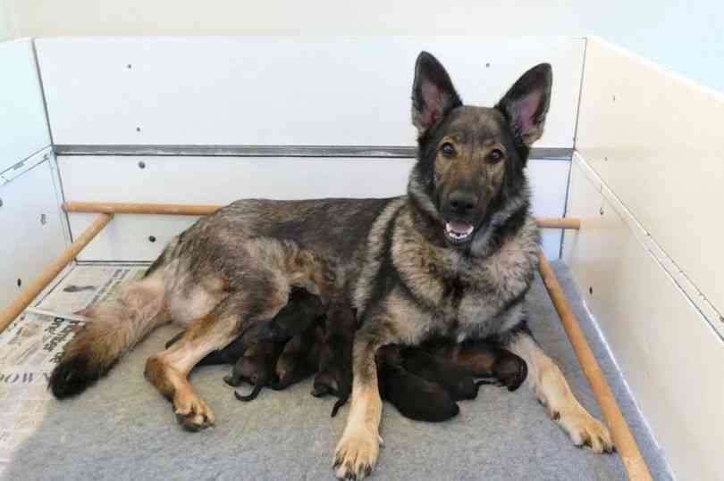 Police Dog Ella Gives Birth To Nine Very Cute Puppies Very
