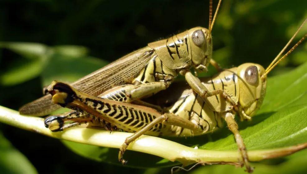 Do Rabbits Eat Grasshoppers Or Not Animals Grasshopper Animals Name List