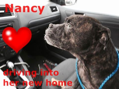 SAFE!!!! ---- NANCY (A1681349)I am a female brown brindle American Bulldog mix. The shelter staff think I am about 10 years old. I was found as a stray and I may be available for adoption on 02/26/2015. — hier: Miami Dade County Animal Services. https://www.facebook.com/urgentdogsofmiami/photos/pb.191859757515102.-2207520000.1424468722./932060946828309/?type=3&theater