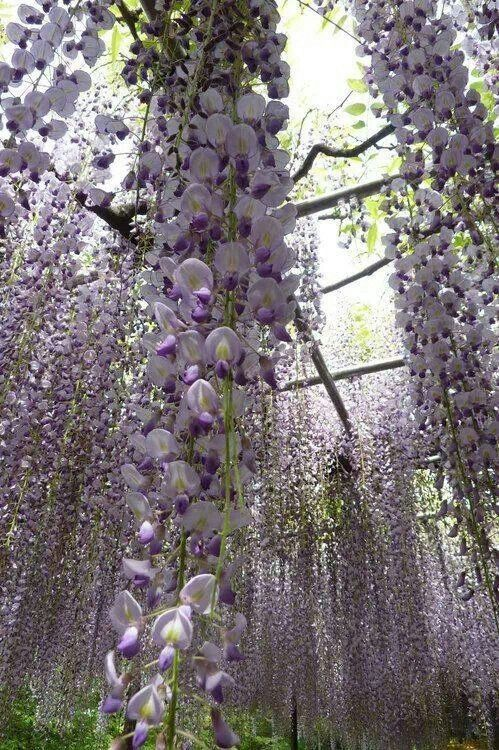 Omg Wisteria Canopy Why I Hadn T I Thought Of Using An Arbor Beautiful Gardens Plants Dream Garden