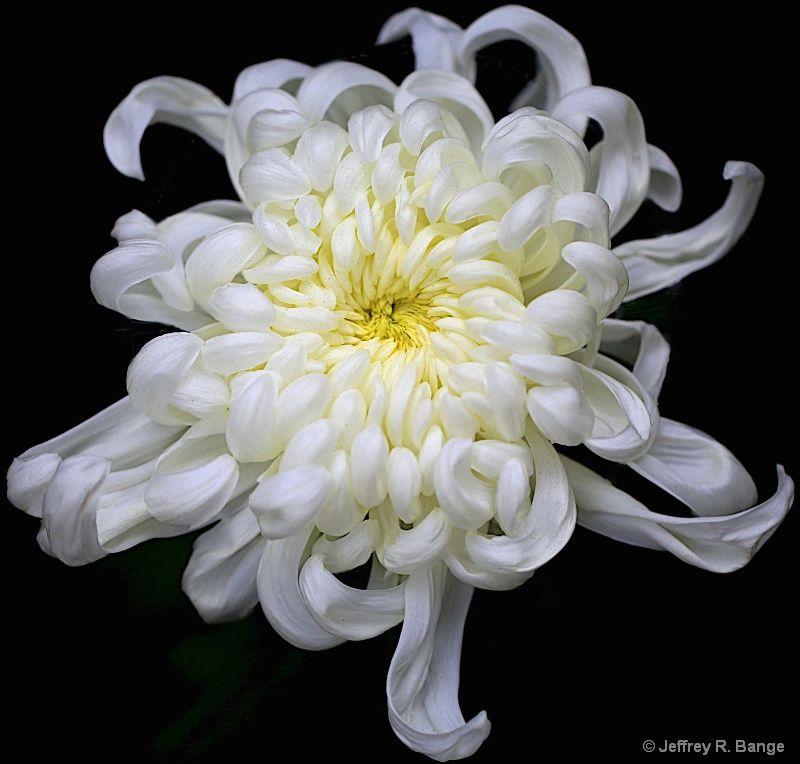 White chrysanthemum chrysanthemum flower white