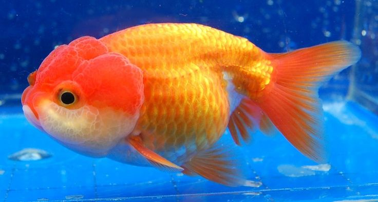 Lionhead goldfish lionhead fancy goldfish fauna marina for Criadero de peces goldfish