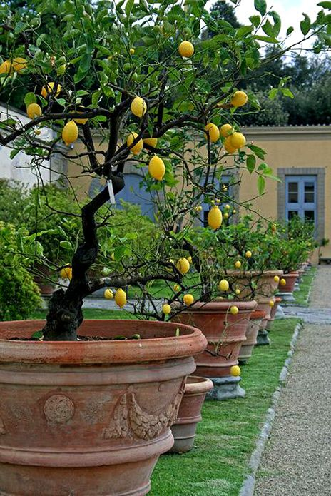 potted lemon-trees---villa-medici-di-castello | gardening