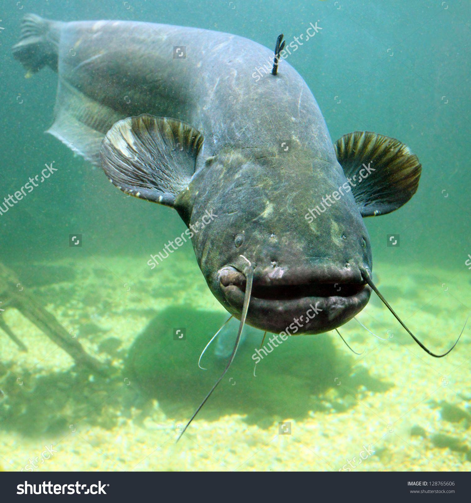 Stock photo underwater photo of the catfish silurus glanis for Predatory freshwater fish