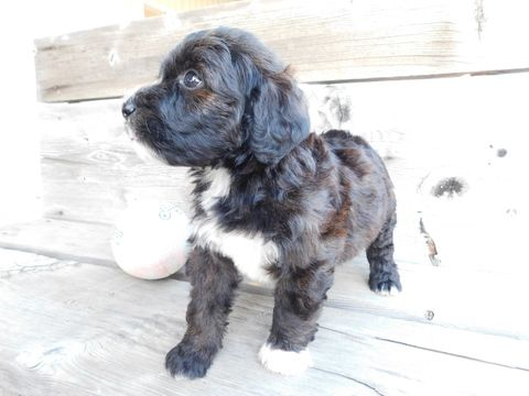 Miniature Bernedoodle Puppy For Sale In Millersburg Oh Adn 33840 On Puppyfinder Com Gender Male Age 6 Weeks Old Bernedoodle Puppy Puppies For Sale Puppies
