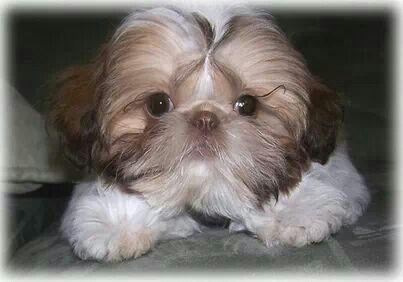Beautiful That Red Nose Shih Tzu Shih Tzu Puppy Shitzu Puppies