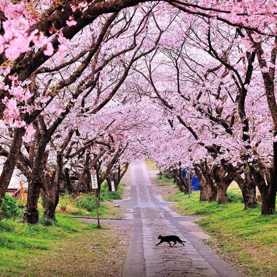 Cherry Blossom In Japan Beautiful Landscape Wallpaper Cherry Blossom Wallpaper Blossom Trees