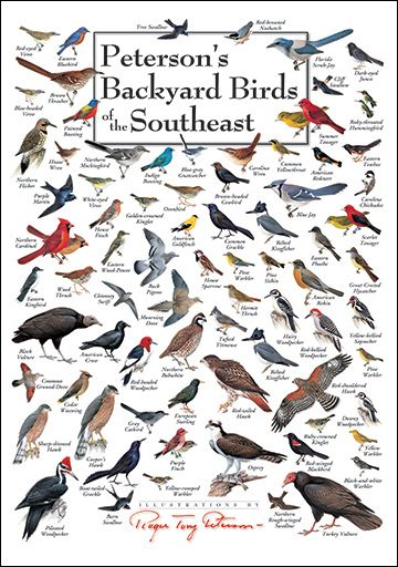 North Carolina Bird Identification Chart | Peterson's Backyard Birds of the Southeast Poster