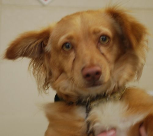 Inland Valley Humane Society Pomona Ca I Am A 2 Year Old Male Spaniel Mix I Will Be Available For Adoption May 17 I Was Resc Humane Society Kennel Rescue
