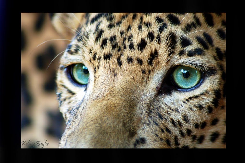 Top Keywords Picture For Snow Leopard Eyes Close Up Leopard
