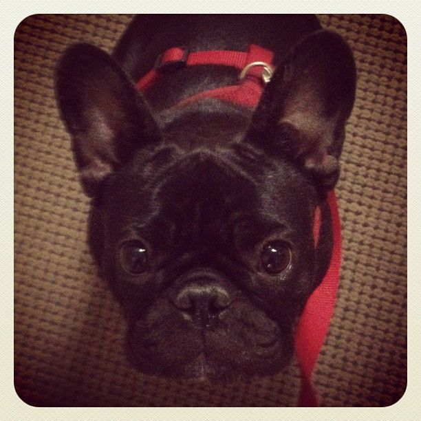 How Could You Resist Those Brown Eyes French Bulldog I Love Dogs Animals