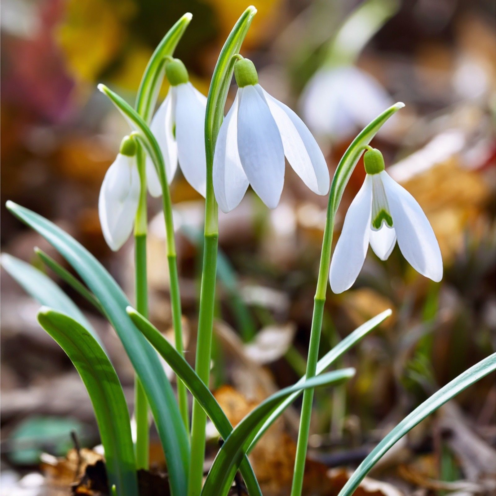 Spring Snowdrops Spring Flowering Bulbs Trees To Plant Planting Bulbs
