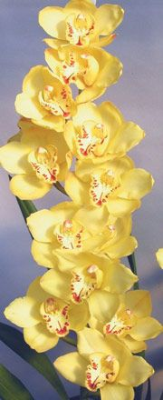 Cymbidium Orchids : Kiwi Orchids - Cymbidum Orchid Varieties - Kiwi Norman Glory