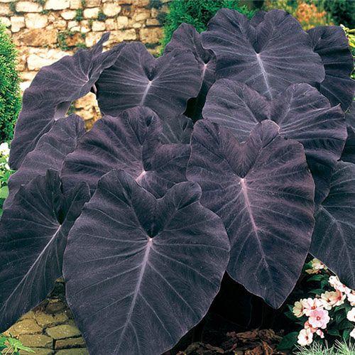 Black Magic Elephant Ear Plants Shade Plants Planting Flowers