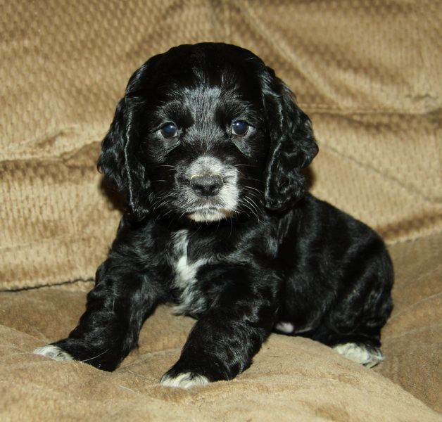 Gorgeous Blackwhite American Cocker Spaniel Puppyso -6286