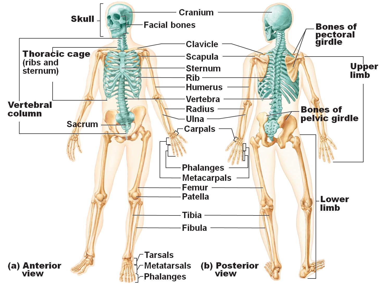 Axial skeleton in blue, appendicular skeleton in white | Anatomy ...