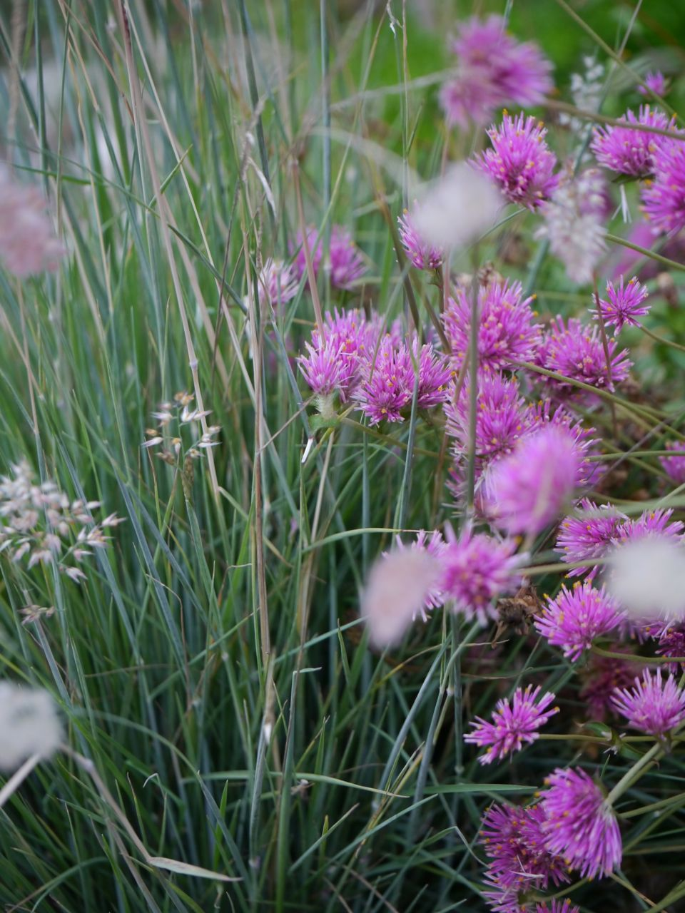 'pink crystals' grass with gomphrena