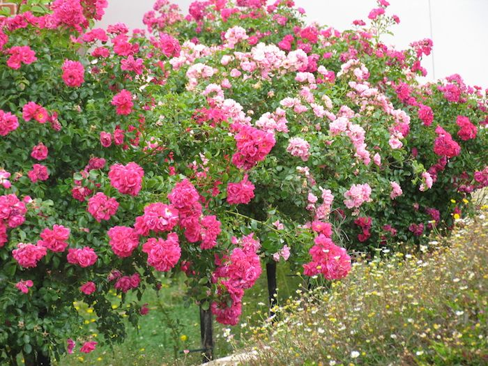 Bullet Proof Flower Carpet Roses As Standards Or Tree Rose Hedgeline Rose Trees Landscaping With Roses Ground Cover Roses