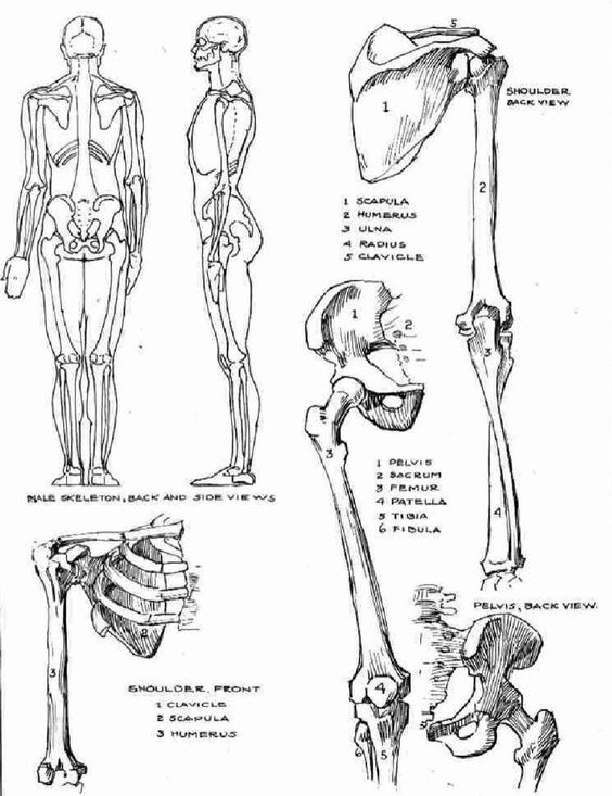 Character Design Collection Bones Anatomy Daily Art References