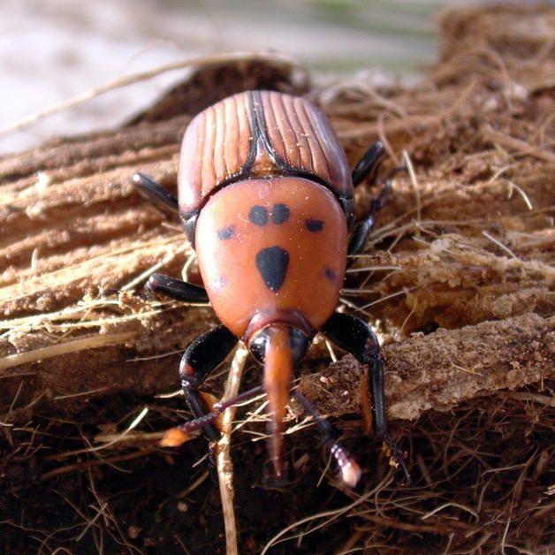 Ejemplar Adulto De Picudo Rojo Escarabajo Egipcio Palmera Datilera Escarabajos