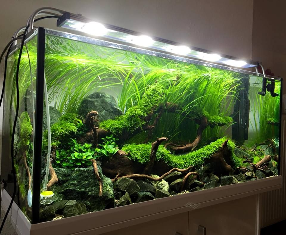 Stunning big tank valisneria and moss aquarien for Big freshwater aquarium fish