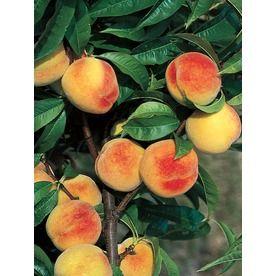 3.25-Gallon La Feliciana Peach Tree (L1337) Nursery