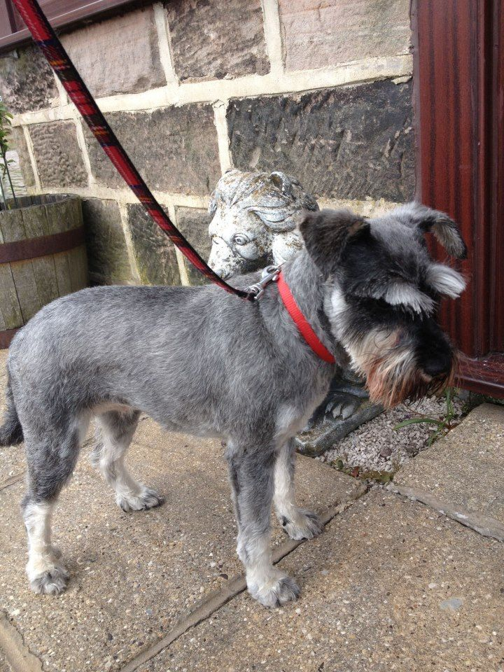 Pippa The Schnauzer Showing Off Her New Haircut Luxury Dog
