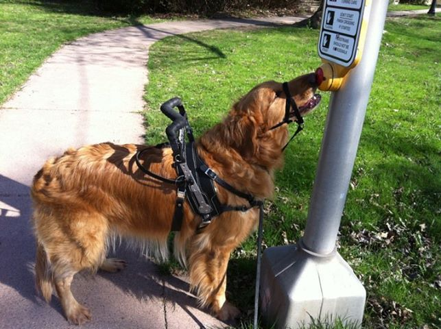 How To Teach A Service Dog To Target Psychiatric Service Dog
