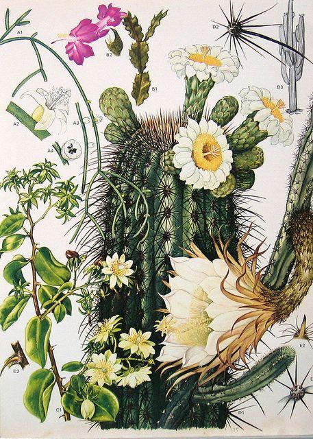 Vintage Botanical Print 175   Flickr - Photo Sharing!