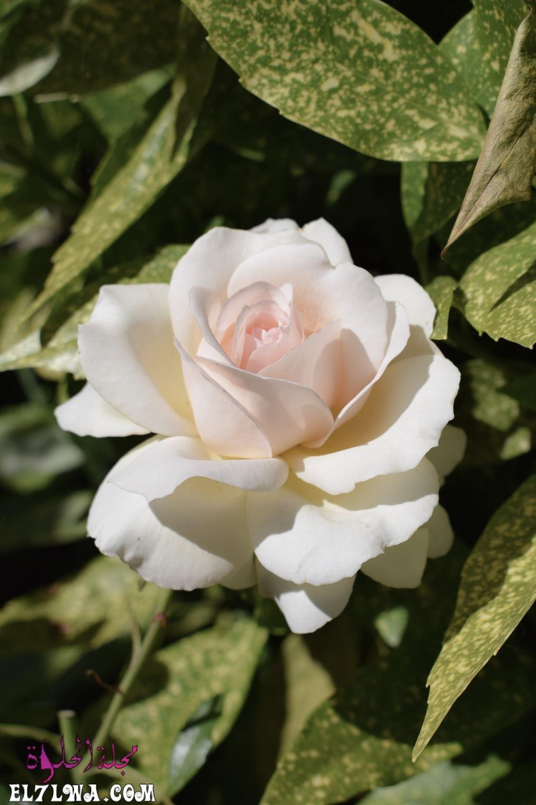خلفيات ورد خلفيات ورود جميلة جدا خلفيات ورد طبيعي الورد من أكثر الأشياء التي ترسم البسمة وتبعث الر احة والت ف In 2021 Rose Flower Pictures Rose Flower Photos Flowers