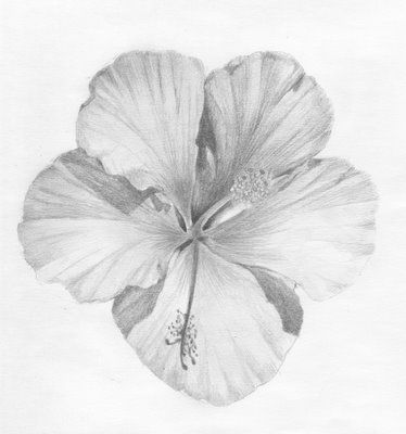 Pencil drawings of hibiscus flowers illustrated life cupid