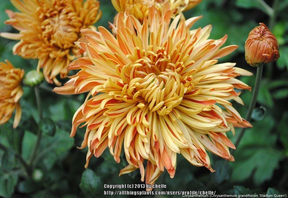 Photo Of The Bloom Of Chrysanthemum Chrysanthemum Grandiflorum Stadium Queen Posted By Chelle All Things Plants Garden Mum Plants Year Round Flowers