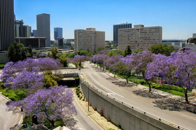 January In Los Angeles Weather And Event Guide Jacaranda Tree Visit Los Angeles Native Plant Landscape