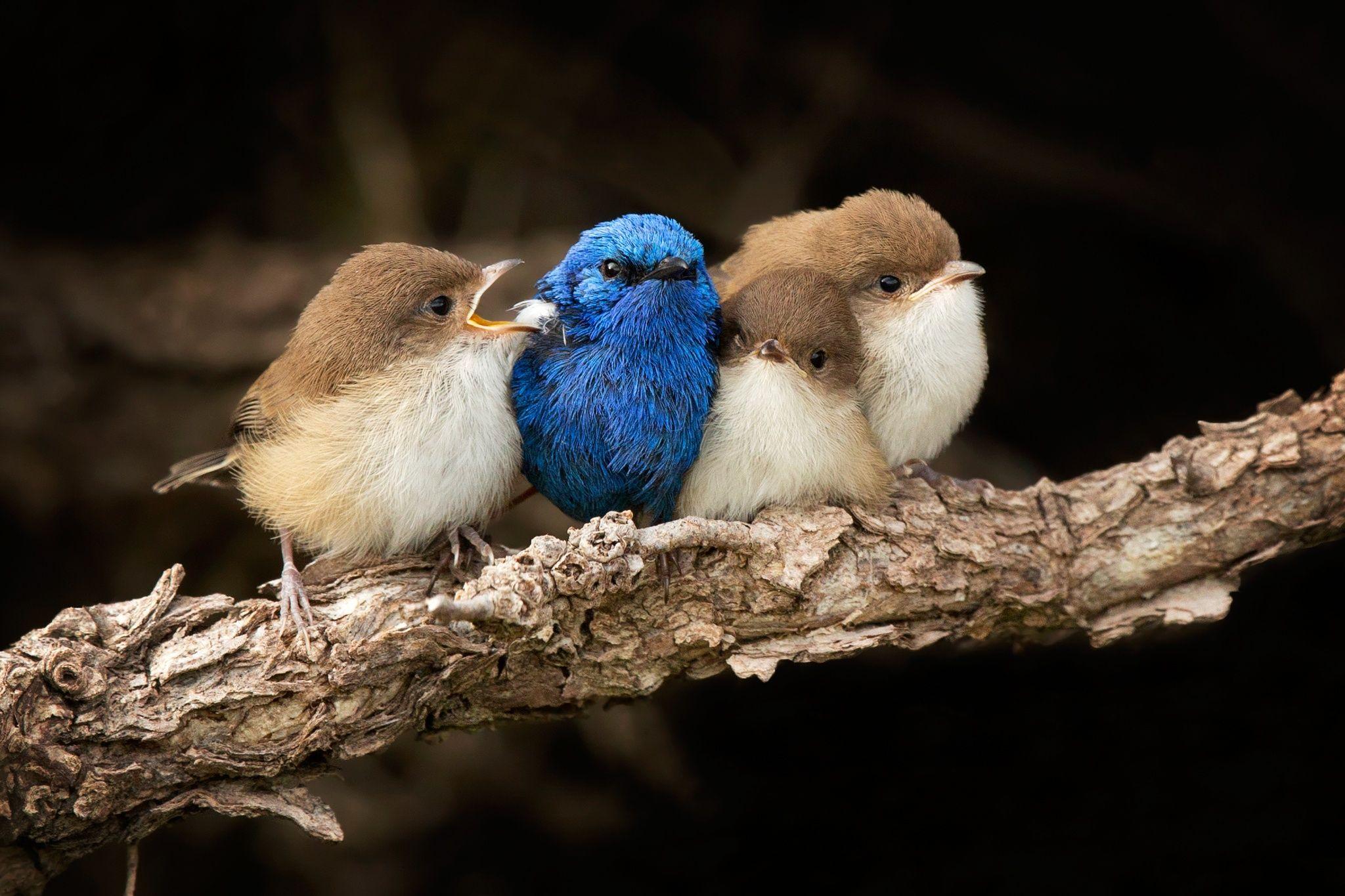 White-winged Fairy-wren family...
