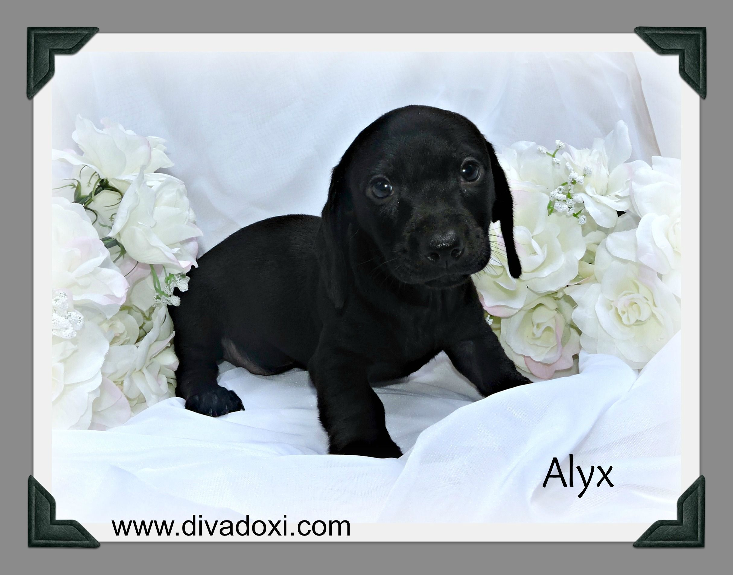 Solid Black Dachshund Puppy Black Dachshund Blue Dachshund
