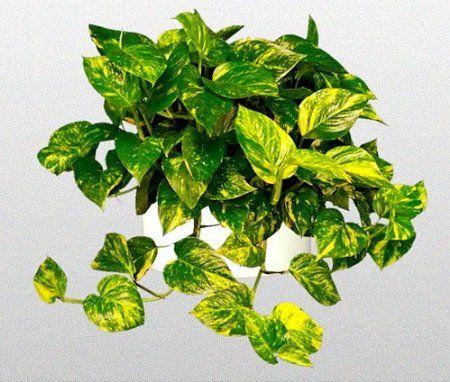 "Amazon.com : Hirt's Golden Devil's Ivy - Pothos - Epipremnum - 4"" Pot - Very Easy to Grow : Plants : Patio, Lawn & Garden"