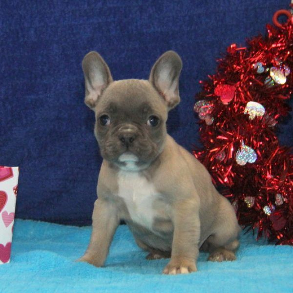 Precious French Bulldog Puppy For Sale in Pennsylvania