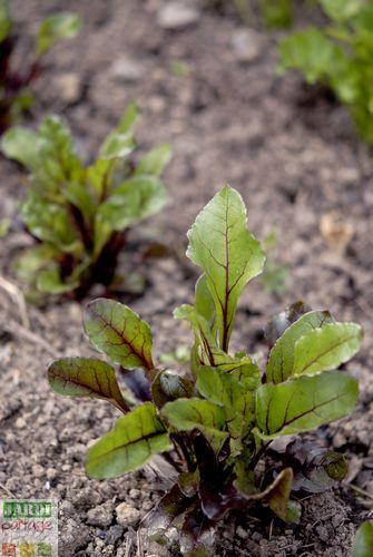 Comment cultiver les betteraves ? 7 conseils pratiques d'un jardinier