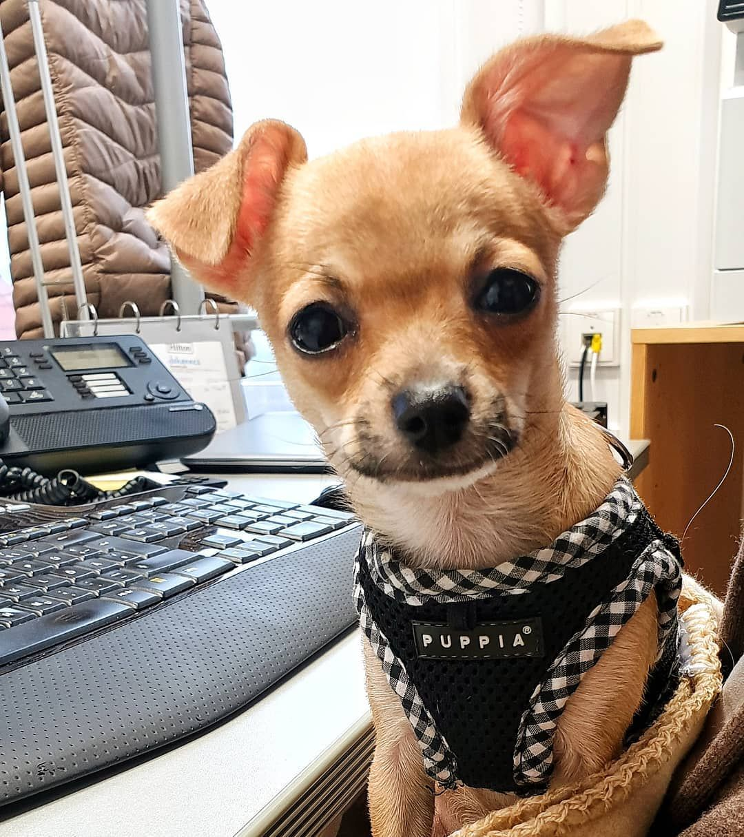 30 Best Dog Names For Mighty Little Chihuahuas Pictures Dogtime In 2020 Best Dog Names Baby Chihuahua Cute Chihuahua