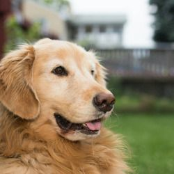 Dogsofpgh Buffy 6 Y O Golden Retriever Pittsburgh Pa Never
