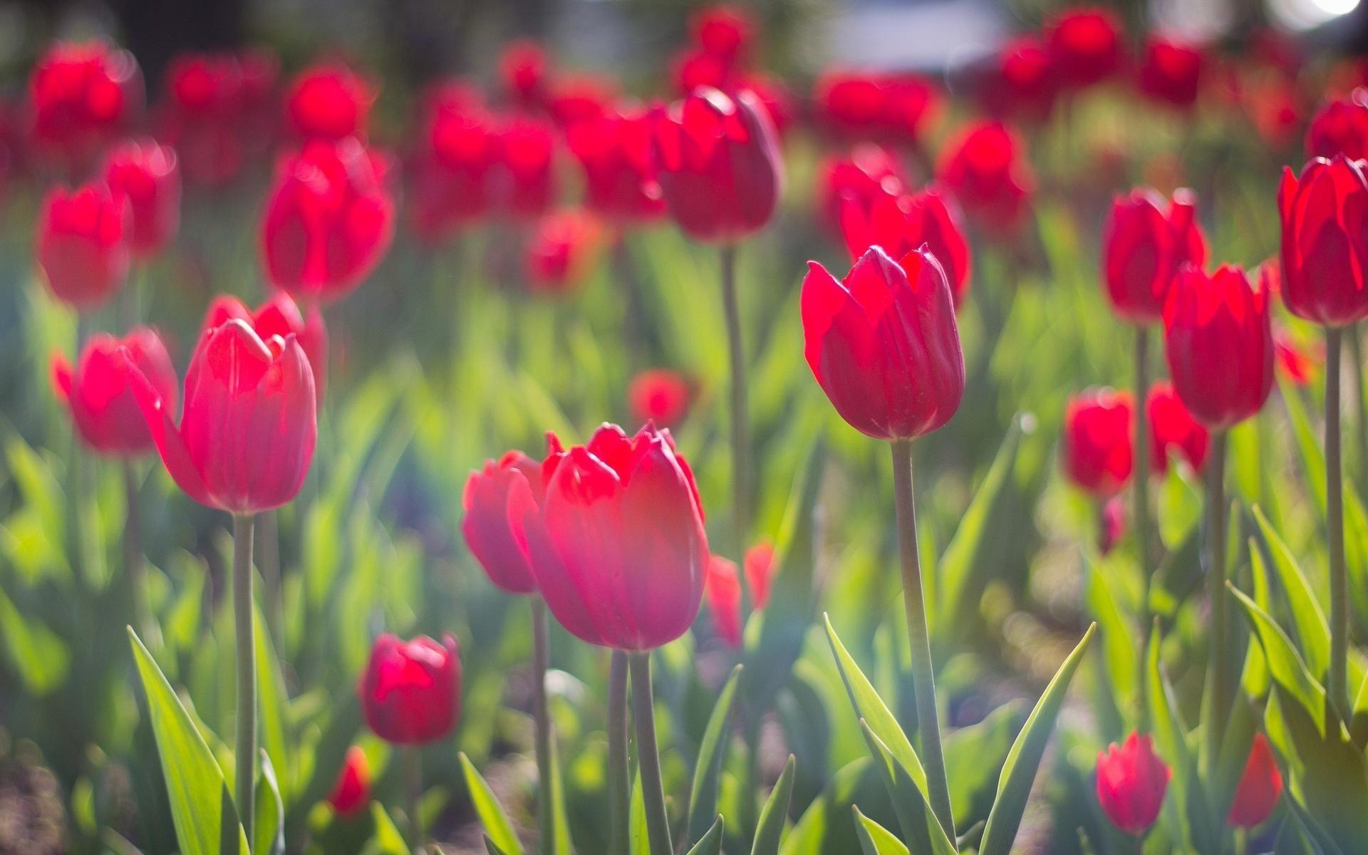 flowers red tulips tulip hd wallpapers download desktop backgrounds