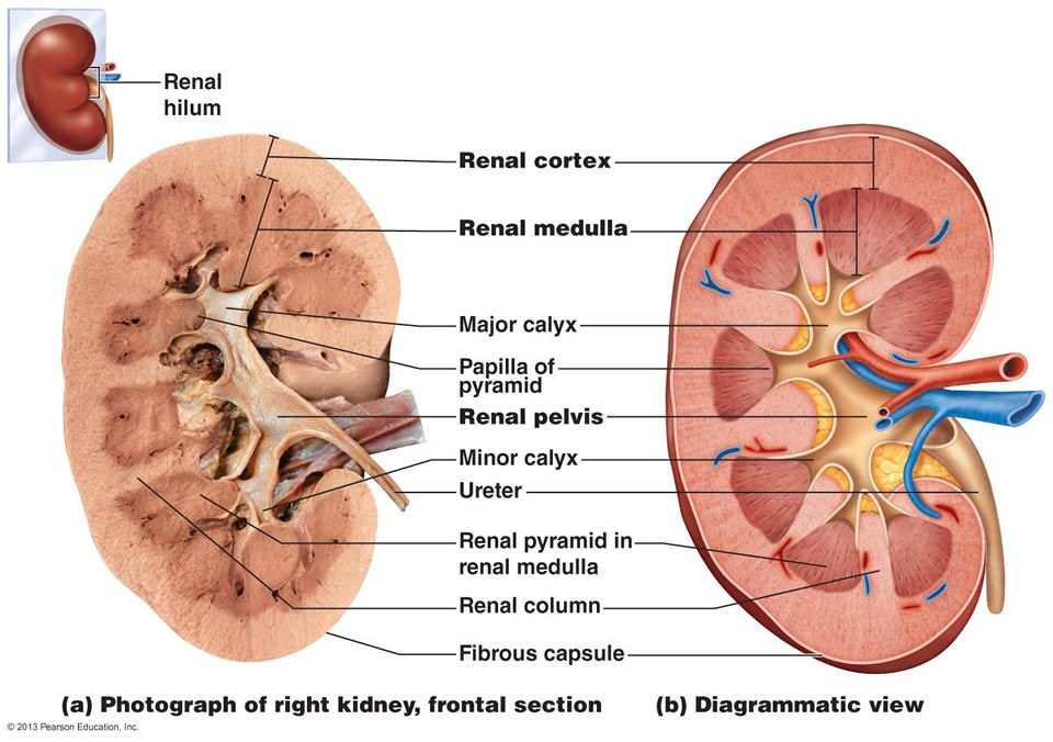 Notes - Urinary System  Kidney cross-section  | Anantomy
