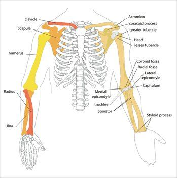 Diagram Of Skeletal Arm - DIY Wiring Diagrams •