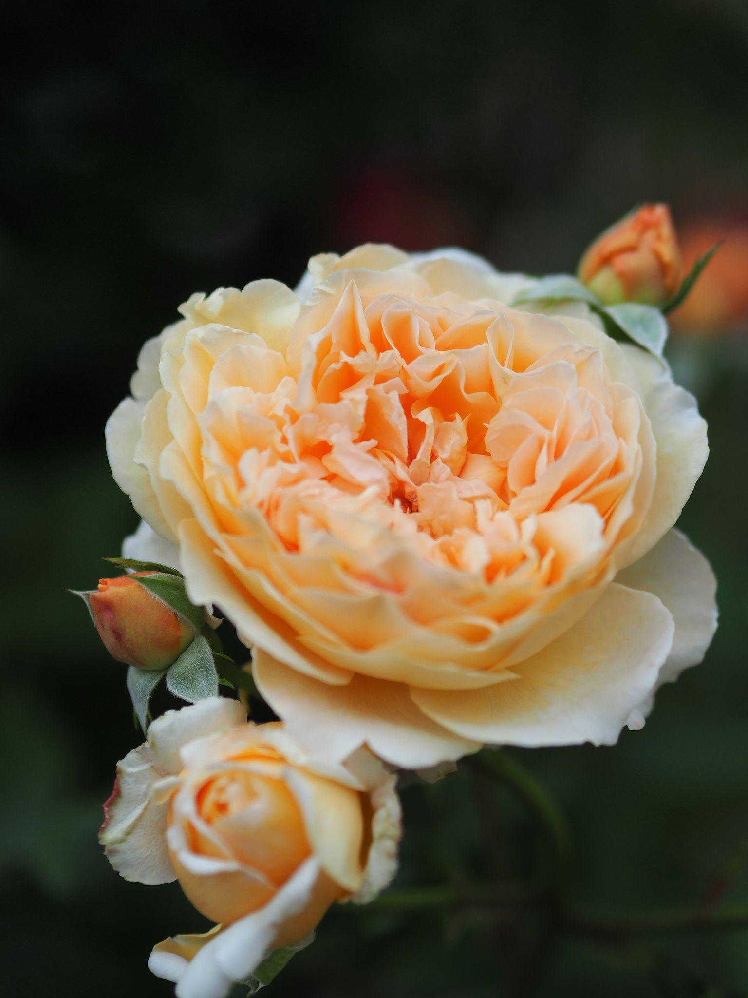Rose crown princess margarita バラ クラウン プリンセス