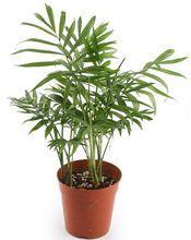 Palma Koralowa Chamedora Wytworna Foliage Plants Plant Identification Large Plants