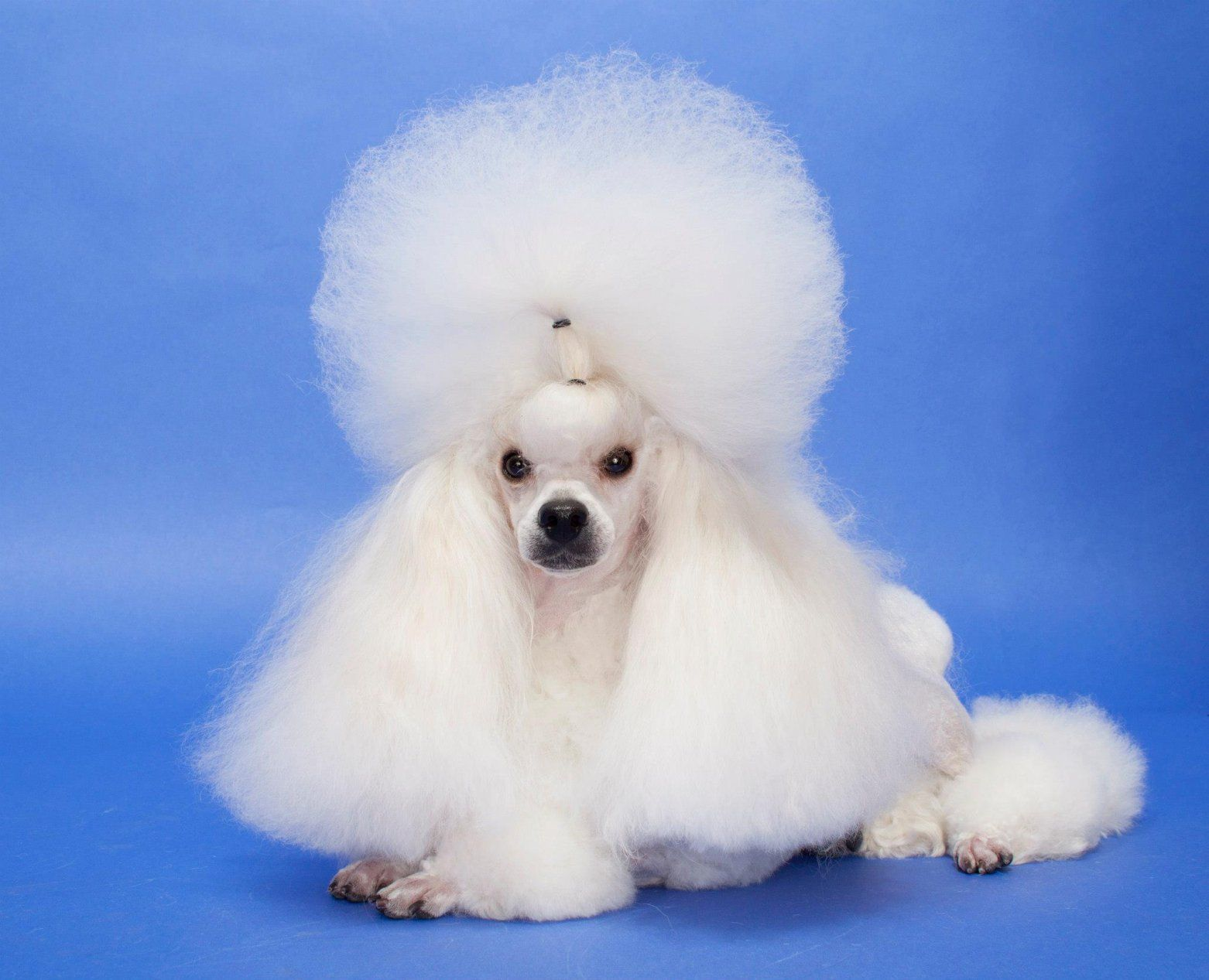 Beautiful toy poodle dogs poodles animals bestfriends