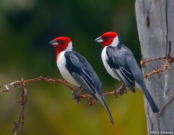 Gallo-De-Campina Beija - Flor - Ostale ptice - Nekaj-9393