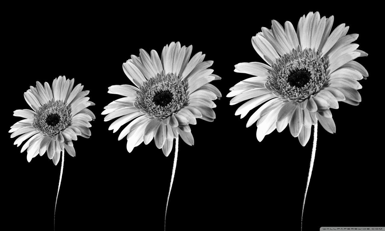 gerbera daisy wallpapers group | hd wallpapers | pinterest | gerbera