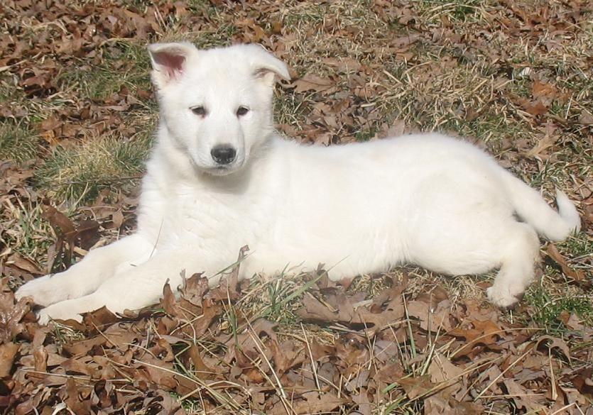 White German Shepherd Puppy 10 Weeks Old Gunther White German